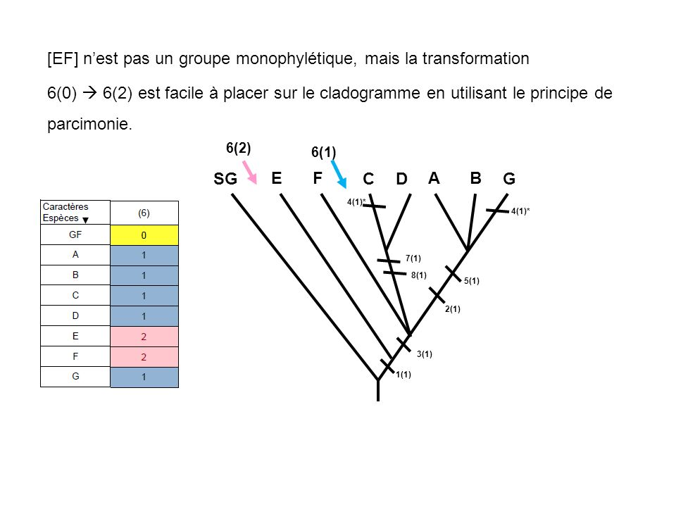 [EF] n'est pas un groupe monophylétique, mais la transformation